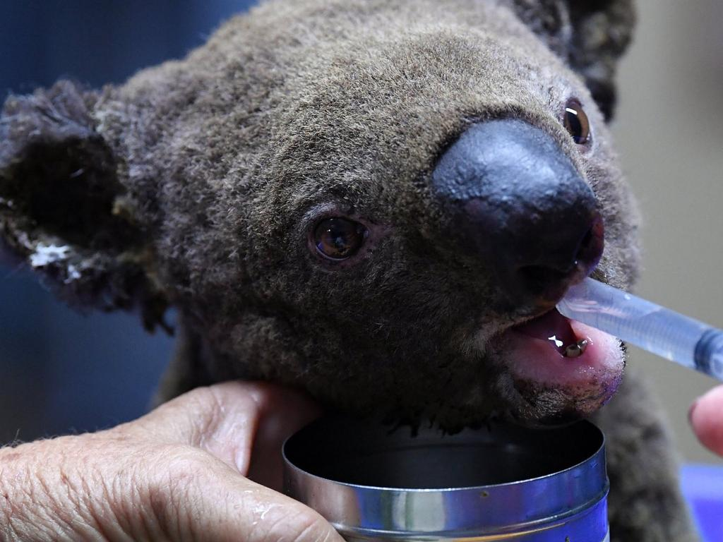 An injured koala is fed water through a syringe. Picture: AFP/Getty Images: