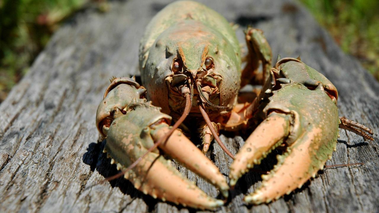 Murray River crayfish.