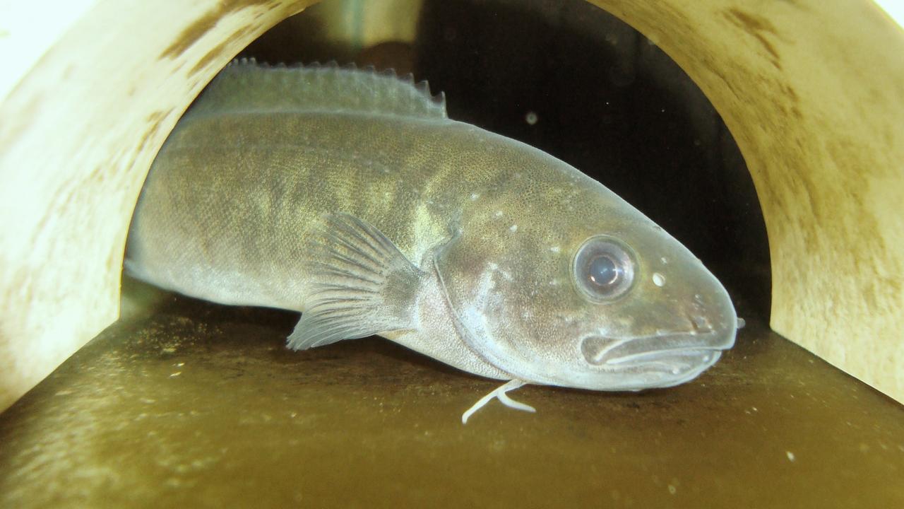 River blackfish.