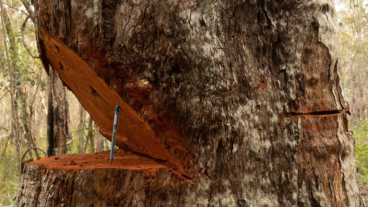 Authorities investigate the destruction of iconic old growth trees in popular state forest.