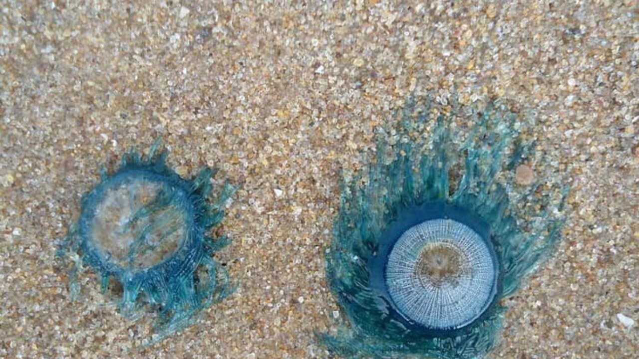 KEEP YOUR EYES PEELED: Vets warn dog owners to watch their pets near these blue creatures on the beach.