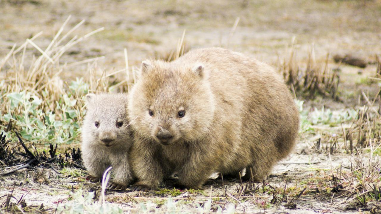 Wombats in Tasmania. File Picture: UTAS