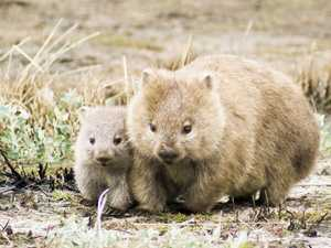 A wombat made famous by celebrity vet has been killed