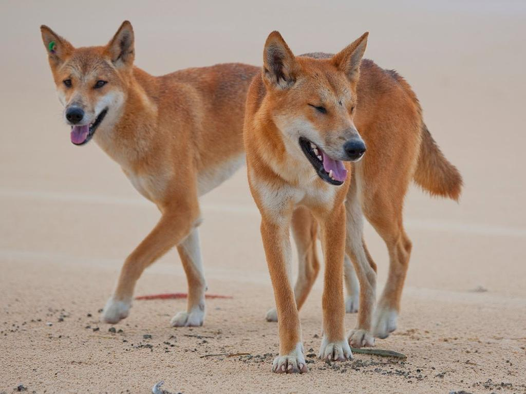 Fraser Island dingoes have been more active than ever.