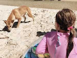 Shocking number of island dingo encounters
