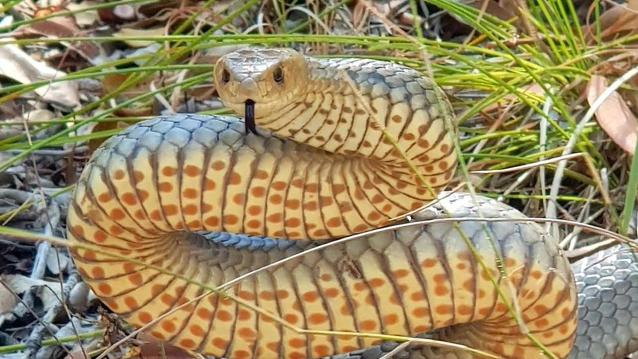 An eastern brown snake. Picture: Gold Coast and Brisbane Snake Catcher