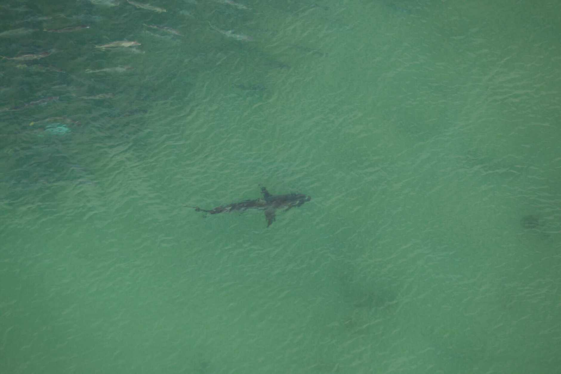 A two-metre tiger shark spotted today near a school of fish.