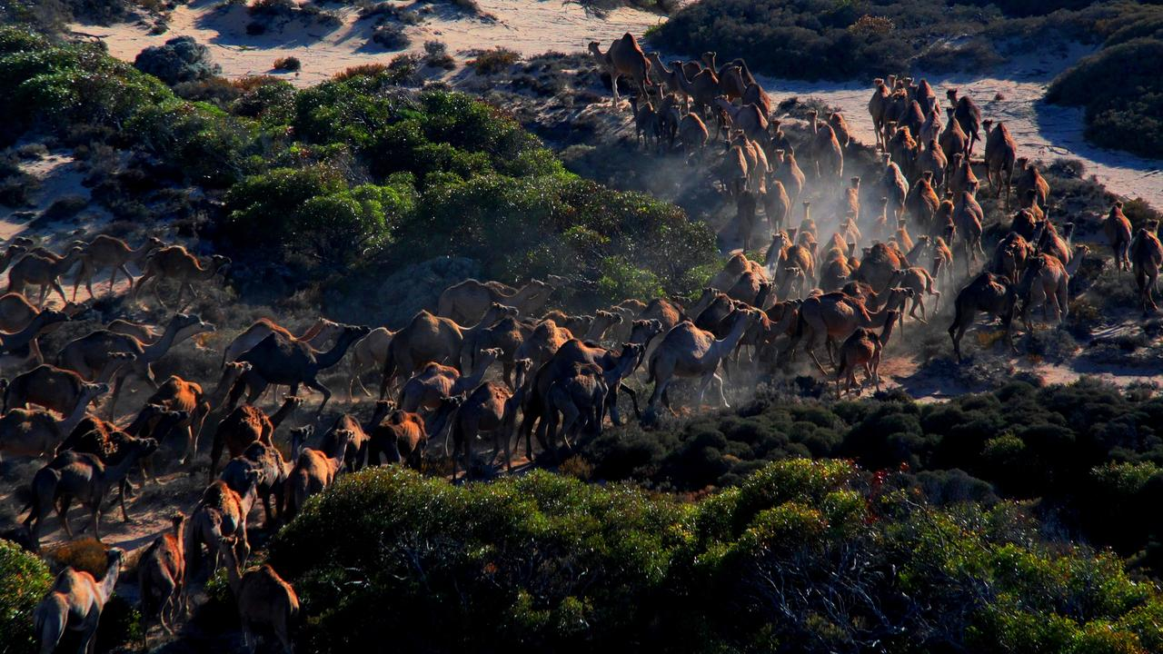 There are more than one million feral camels in Australia, experts predict. Picture: Robbie Sleep