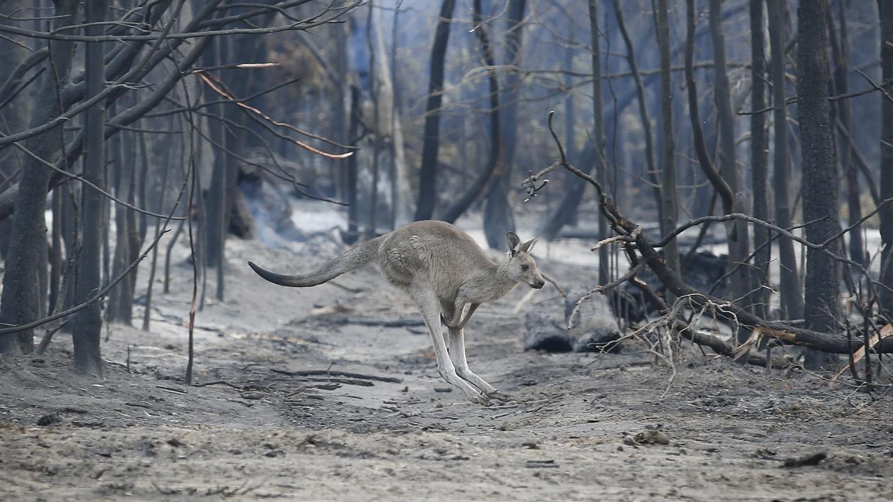 A kangaroo hops across a burnt ground looking for feed near Mallacoota. Picture: David Caird