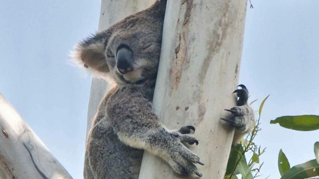 Ingenia the koala is carrying a baby koala pinky and the hopes of the Queensland Koala Crusaders with her into Tewantin forest.