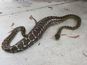 This carpet python devoured a family's treasured cat