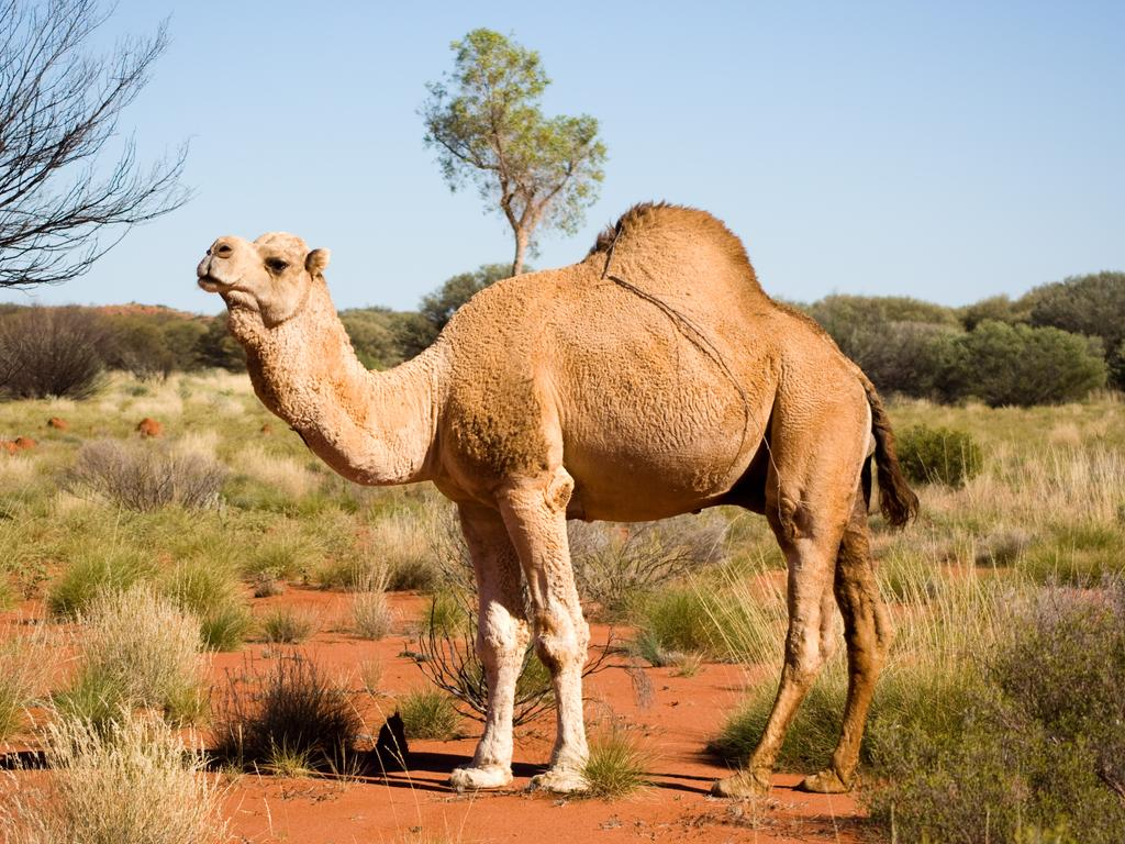 Shooters will take to the skies in helicopters this week to hunt down and kill thousands of feral camels tormenting remote communities.