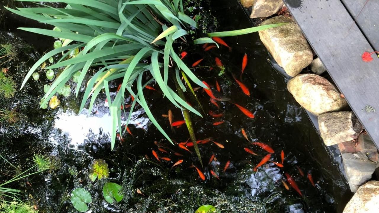 Richmond resident Fiona Holliday said she thought the theft of 40 goldfish from her outdoor pond was