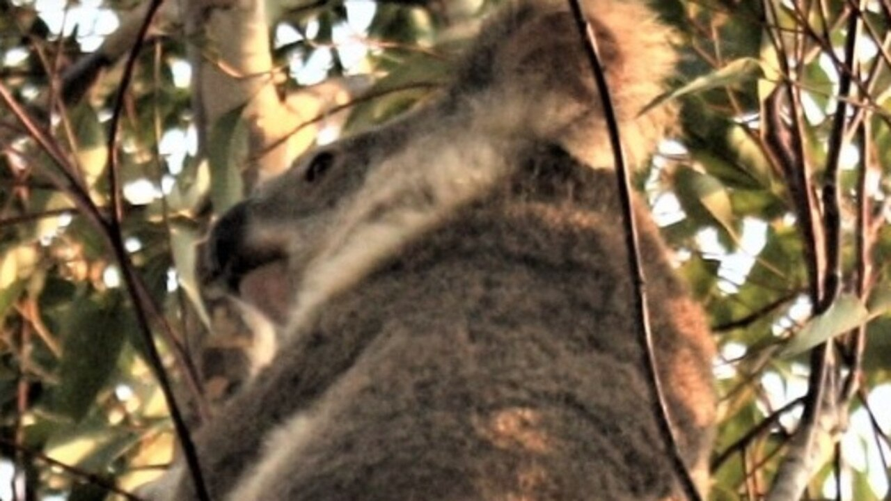 RESCUED: A koala from Kilkivan was rescued and is being treated at the Australia Zoo Wildlife Hospital for Chlamydia. Photo: Koala Action Gympie Region