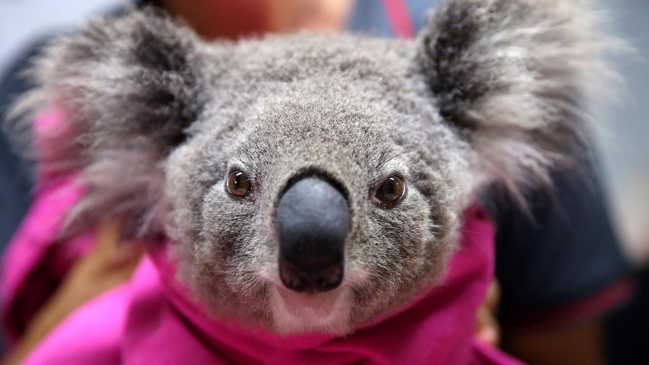 A koala named Lisa from Pappinbarra recovers from burns at The Port Macquarie Koala Hospital on November 29, 2019 in Port Macquarie, Australia. Photo by Nathan Edwards/Getty Images