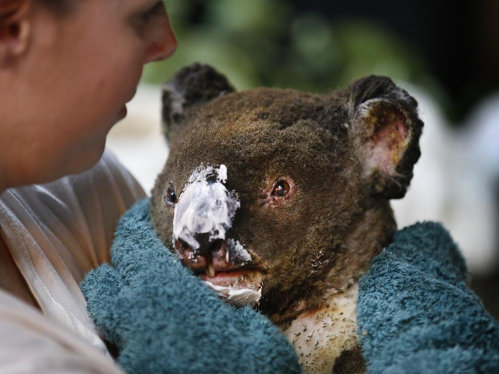 Guzzle the male koala, who suffered burns to his nose face and paws, has burn cream applied to his burnt nose by wildlife carers. Picture: David Caird