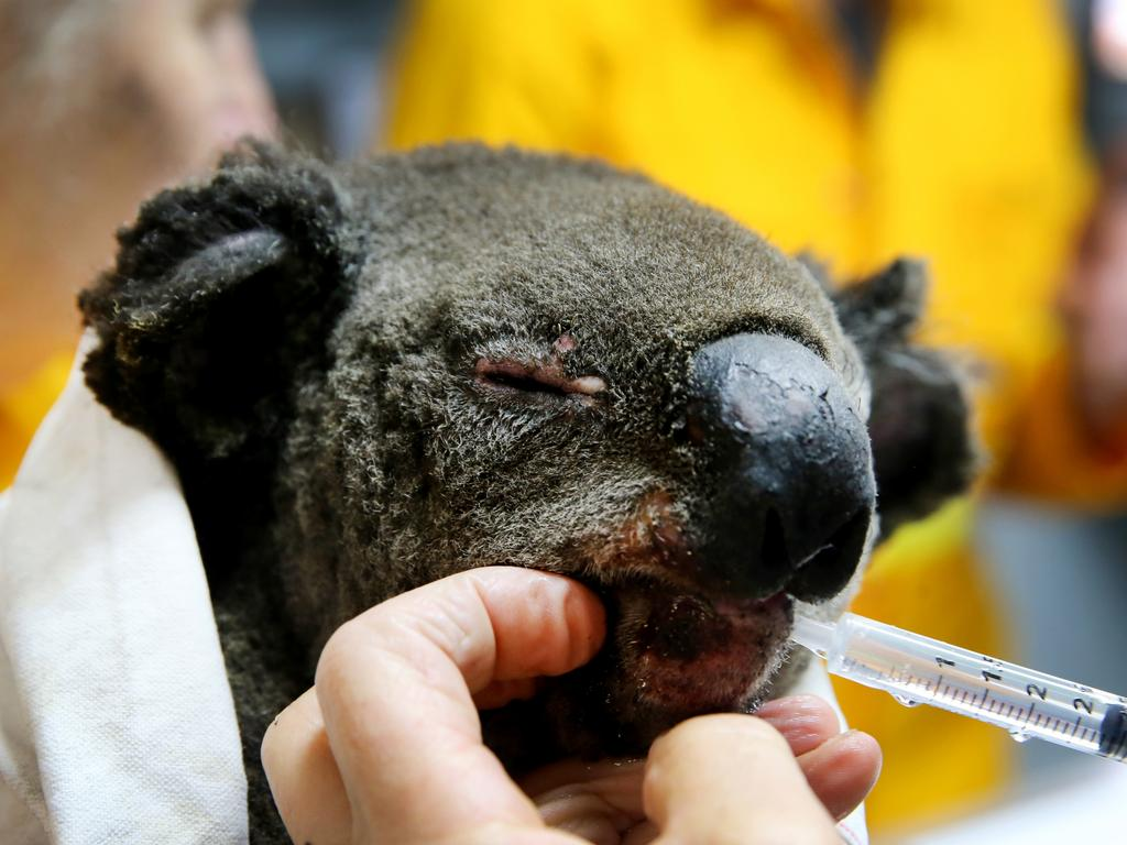 Volunteers from the Port Macquarie Koala hospital treat a burnt koala. Picture: Nathan Edwards