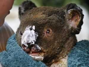 Expert says koala population will be able to survive bushfires