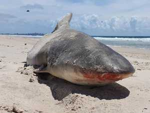 Islanders spooked by half-eaten shark carcass