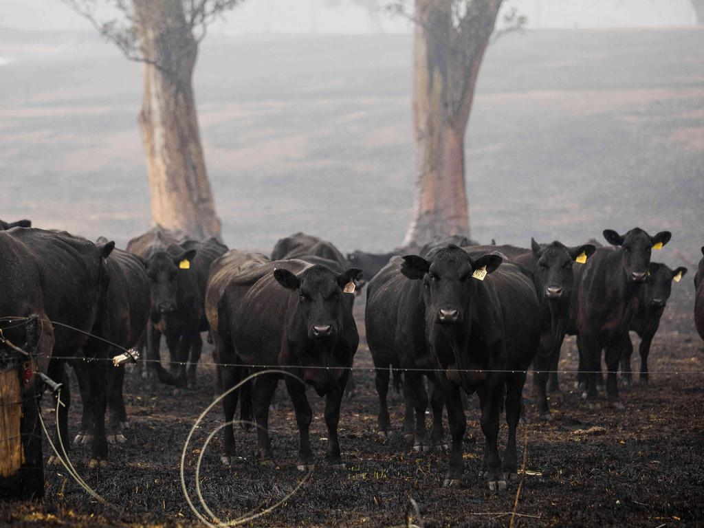 Beef cattle in Cobargo, NSW, after a devastating bushfire passed through the area. Picture: Sean Davey