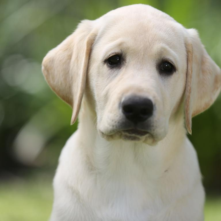 The Labrador is still top dog in the UK, and number 3 in Australia. Picture: Stuart Milligan