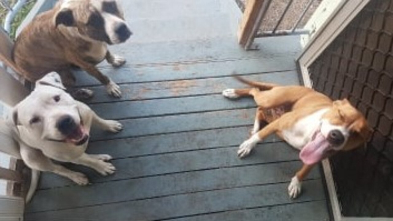 Quinn Leighton's dogs Lunar (upper left) and Diesel (lower left) were involved in a dog fight in Toolooa on January 8. Diesel was stabbed during the incident and taken to Sun Valley Veterinary Clinic.