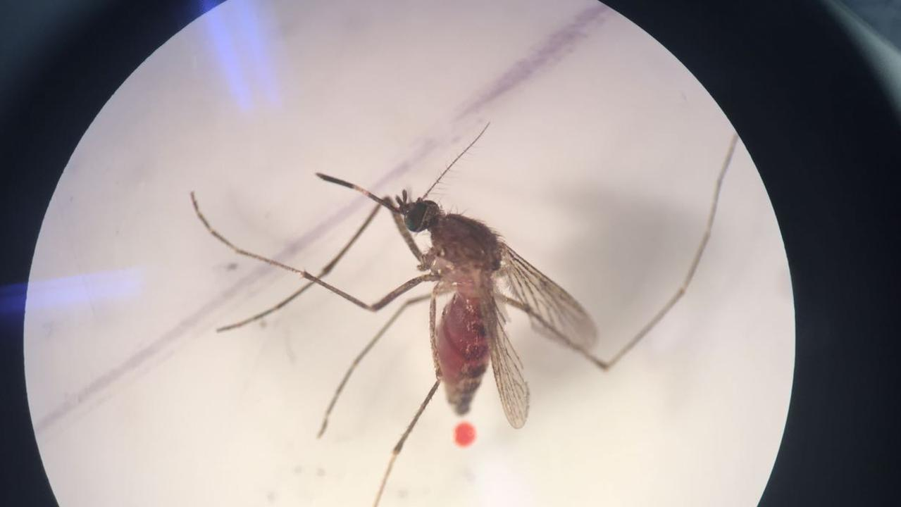Culex annulirostris, also known as the common band mosquito, excreting under a microscope. The mozzie's poo is signified by the red dot, after it has fed on blood. Photo: Ana Ramirez