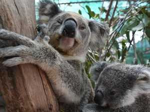 Report reveals shocking death toll of local koalas