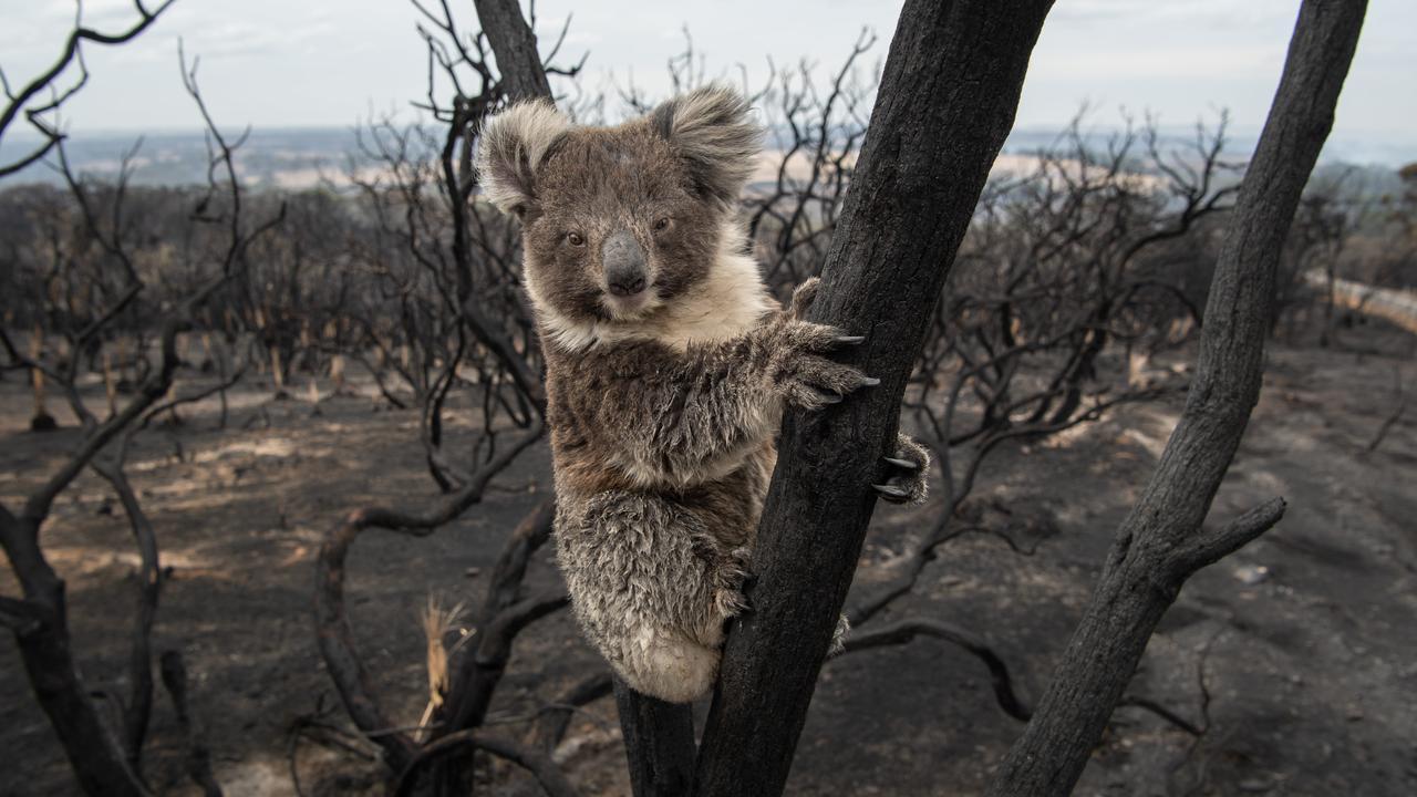 Kangaroo Island fire. A koala looking back towards Kingscote on the Playford Hwy. Picture: Brad Fleet