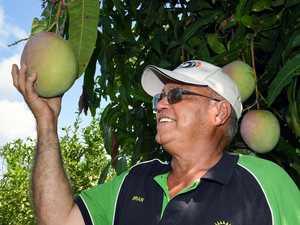 Mango growers celebrate end of bumper harvest