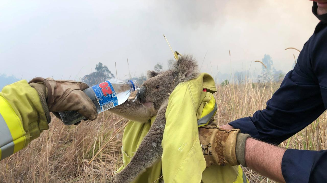 Firefighters from a Fire Rescue NSW strike team help a koala who wandered onto the road get to safety near Jackybulbin Road, near Tullymorgan.