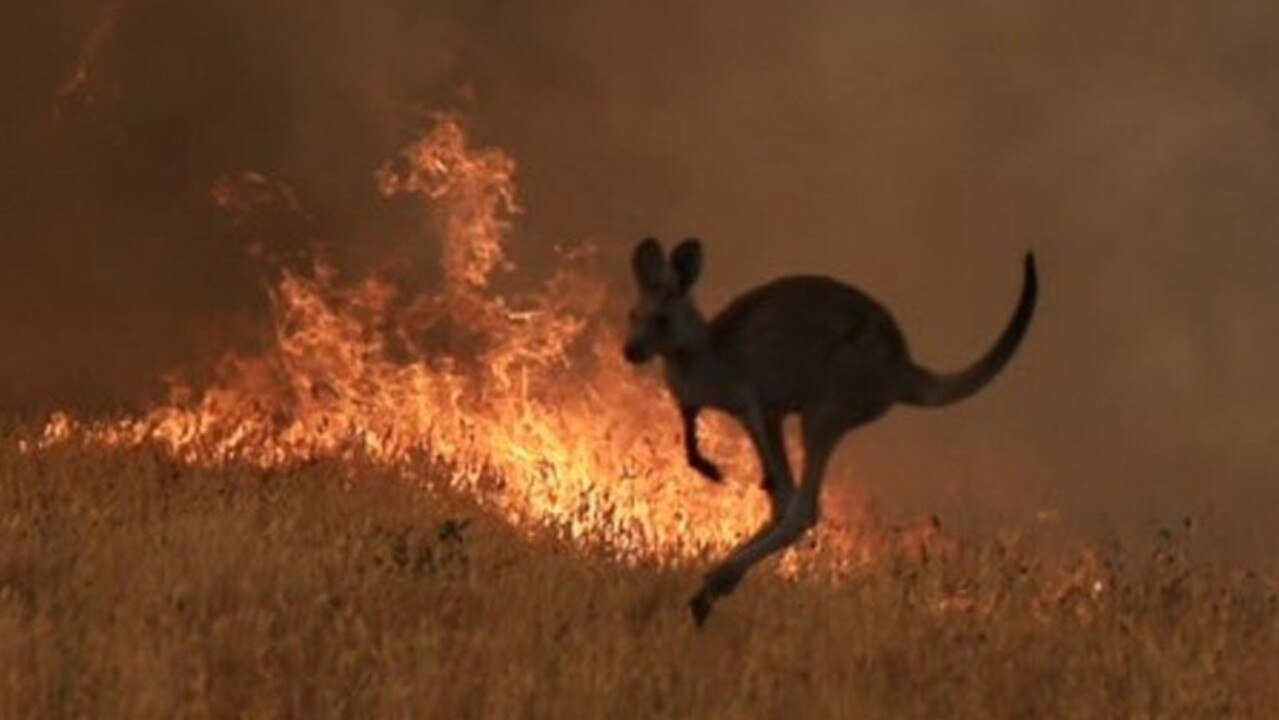 It is estimated almost half a billion animals have died in the fires burning across Australia.