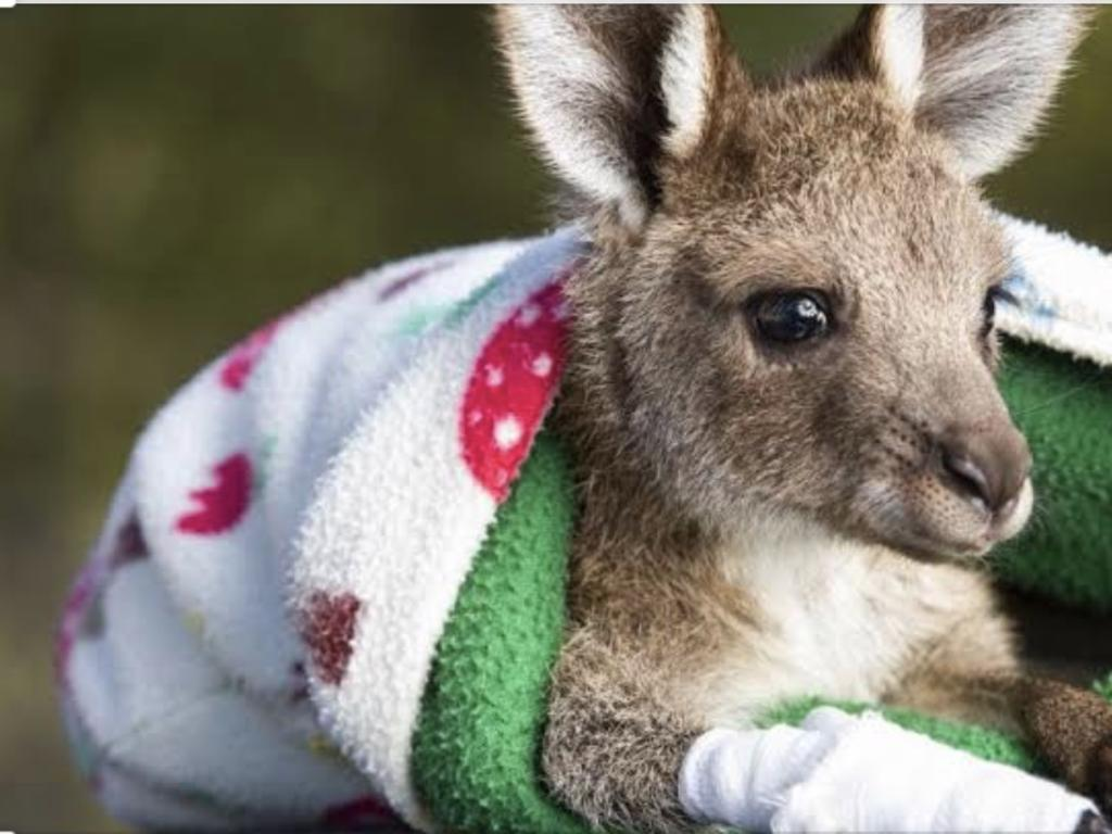 Sunshine Coast Wildlife Rescue did a major black walk to recover wildlife on Bribie Island following bush fires last August. This joey was both a victim and lucky survivor of the blaze.