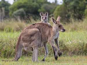 Roos face extinction as fires and habitat loss hit home