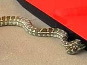 NABBED: 2m long snake caught outside bank