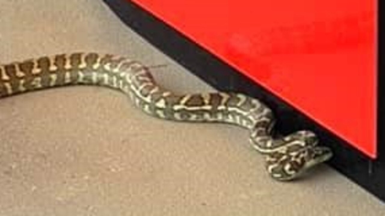 A 2m long carpet python was removed from a bank at Noosa Civic. Photo: Wendy Jordan.