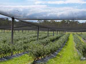 Local blueberry growers 'missing out' in export market