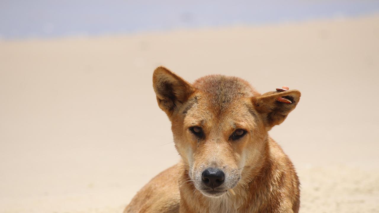 Fraser Island dingo.
