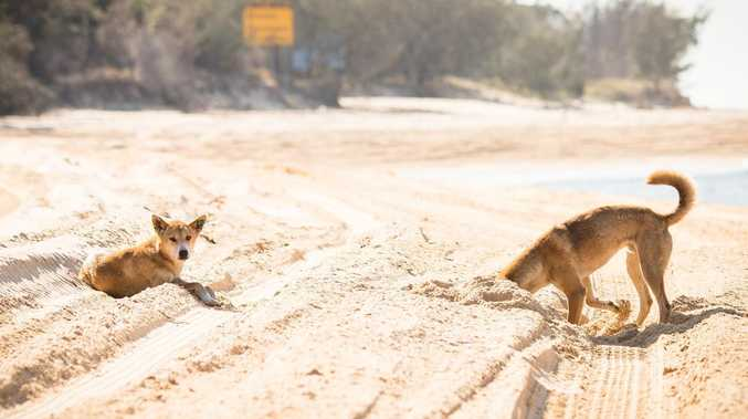 ANGER: News of dingo feedings met with frustration