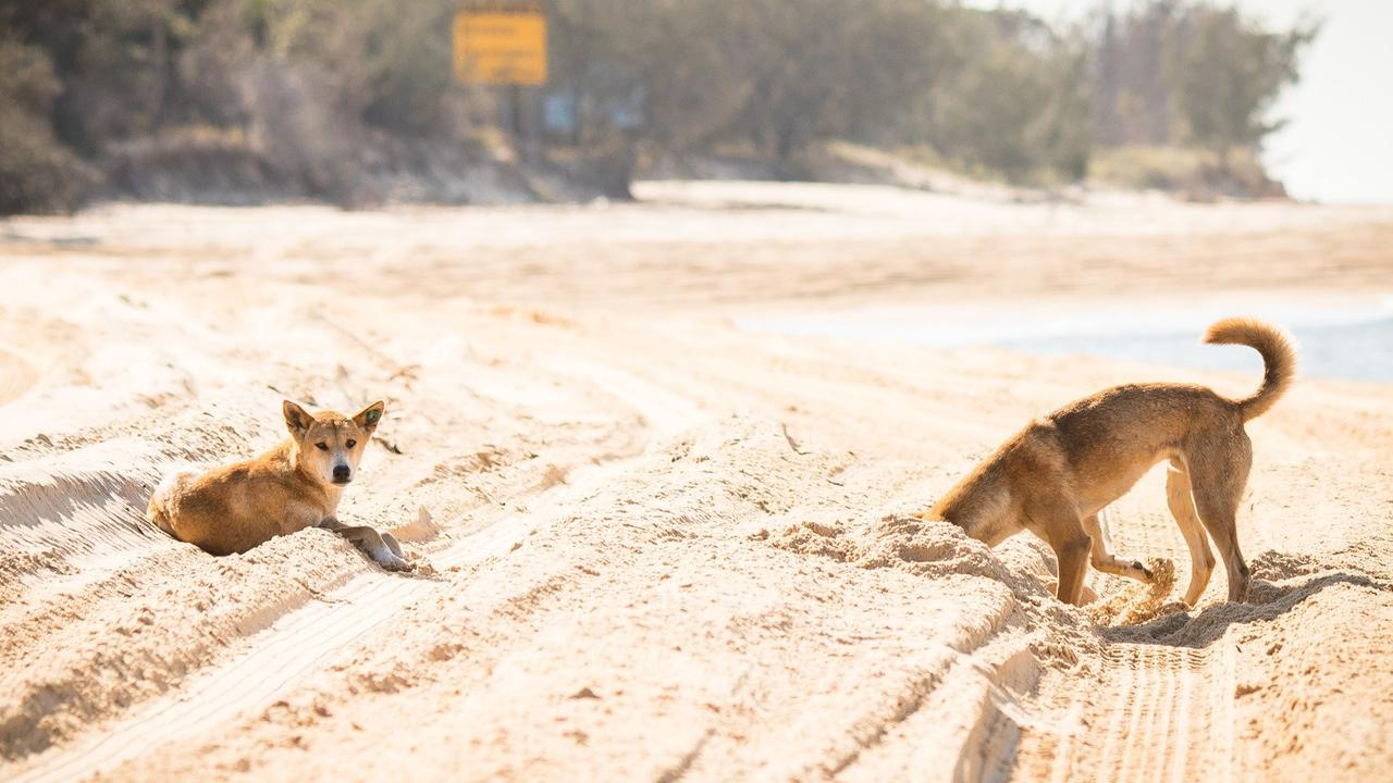 SOCIAL MEDIA IMAGE DISCUSS USE WITH YOUR EDITOR – SOCIAL MEDIA IMAGE DISCUSS USE WITH YOUR EDITOR – DOG DAYS: Fraser Island Dingoes play around in the sand.