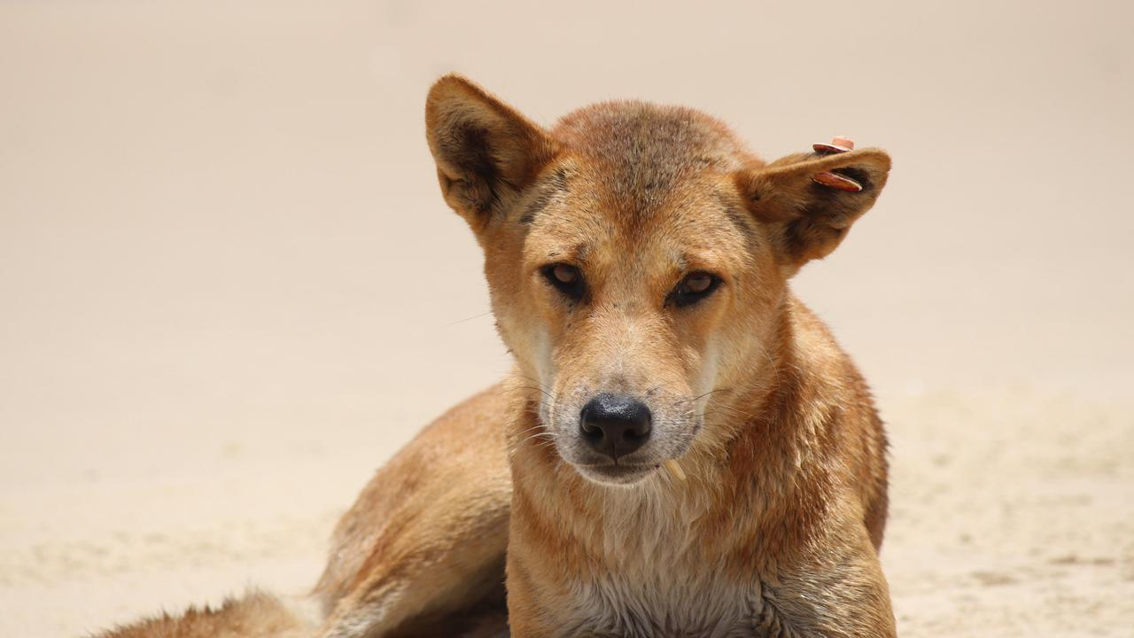 Two people have been fined for feeding dingoes on Fraser Island.