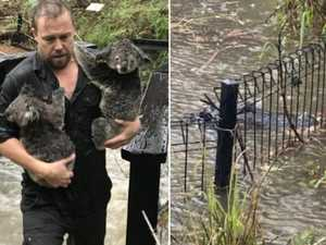 Koalas soaked, gators close to escape as Reptile Park floods