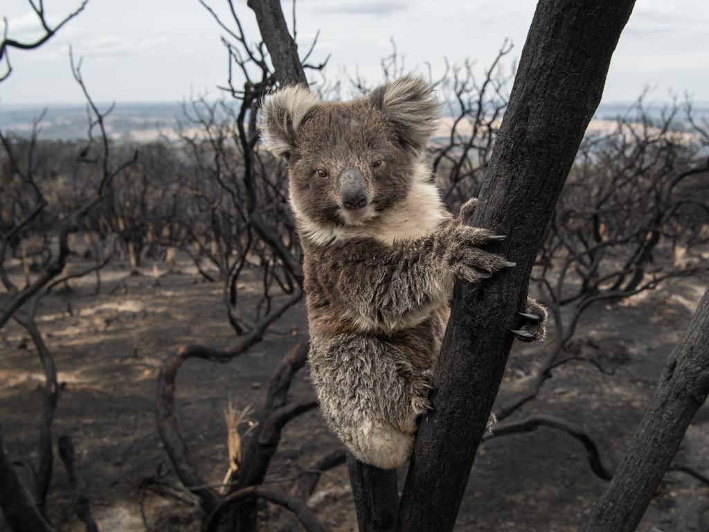 A quarter of our state's koala habitat has been burnt in the bushfires. Picture: Brad Fleet