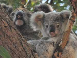 Valley residents fear for safety of koala mum and joey