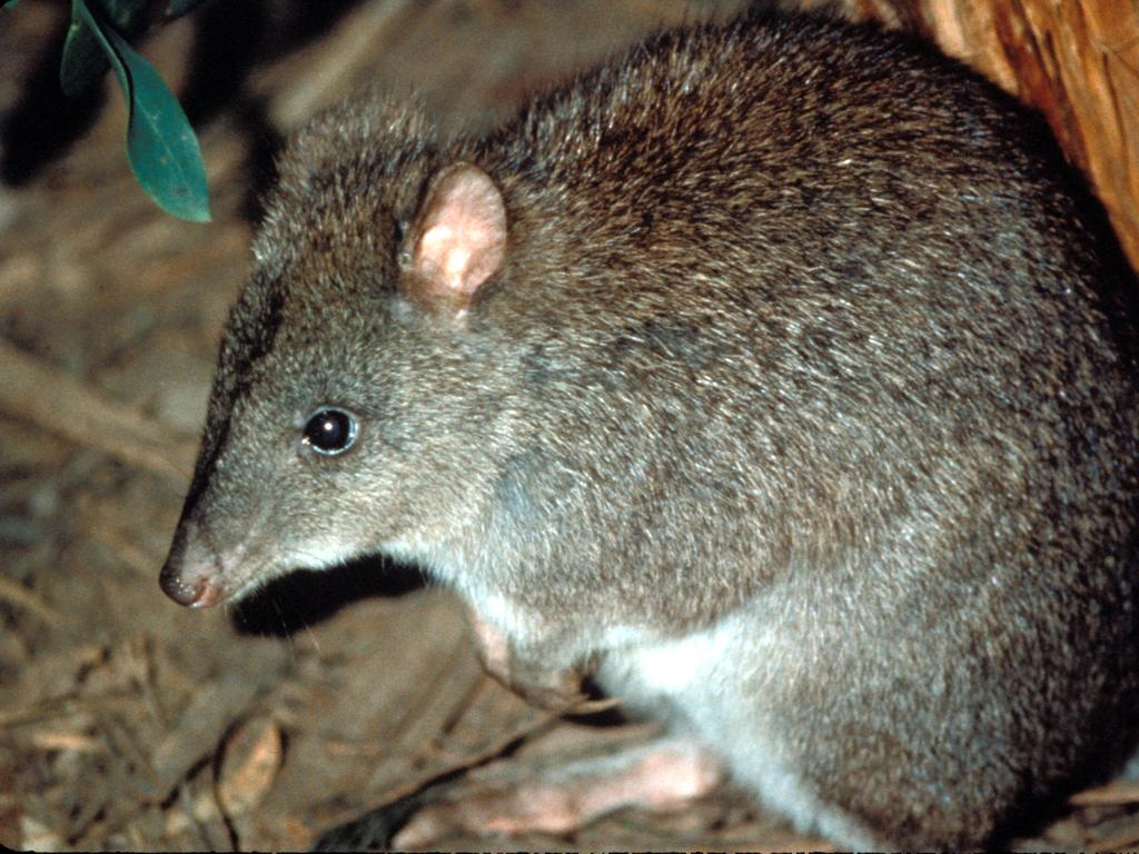 Much of rare long-footed potoroo habitats in NSW have been destroyed by fire.