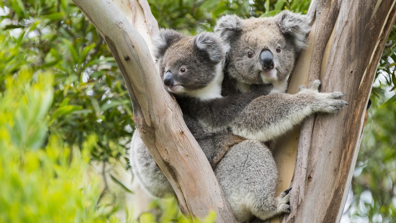 ESCAPE: Koala with joey, Australia. Picture: Istock
