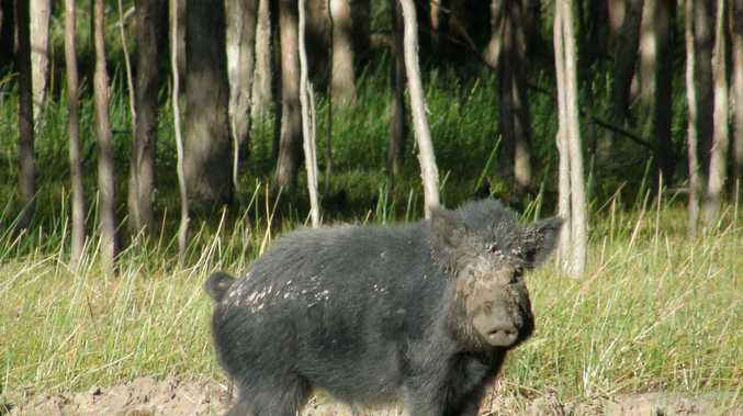 BOUNTIES: Feral pigs under fire as hunters cash in on pests