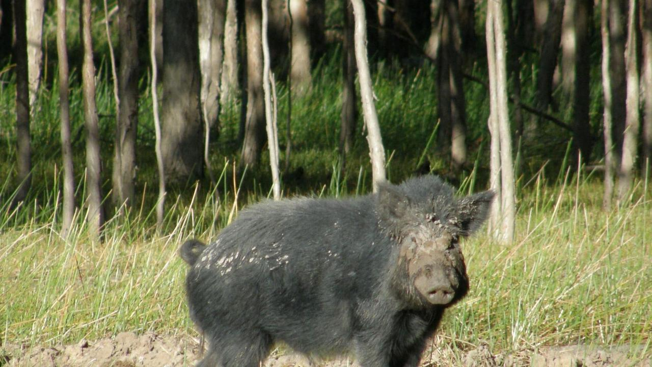 A wild boar photographed by Biosecurity Queensland's Jim Mitchell in Lakefield National Park