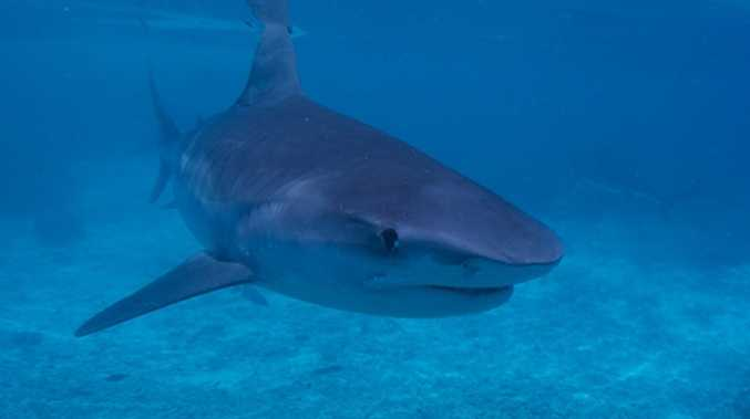 Tagged shark's astonishing 4000km journey