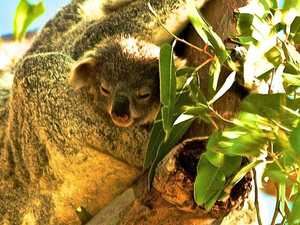 Fire clearing 'overkill' may cost koalas